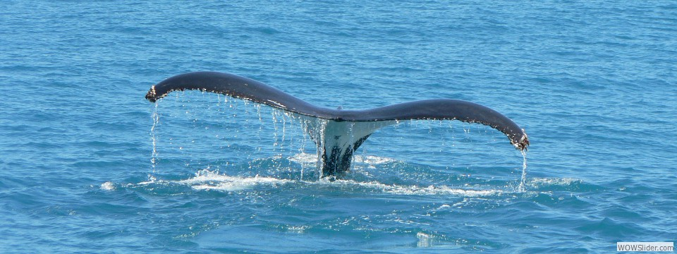 Whale with tail up, WA